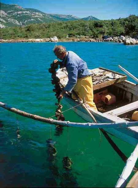 Austernfischer